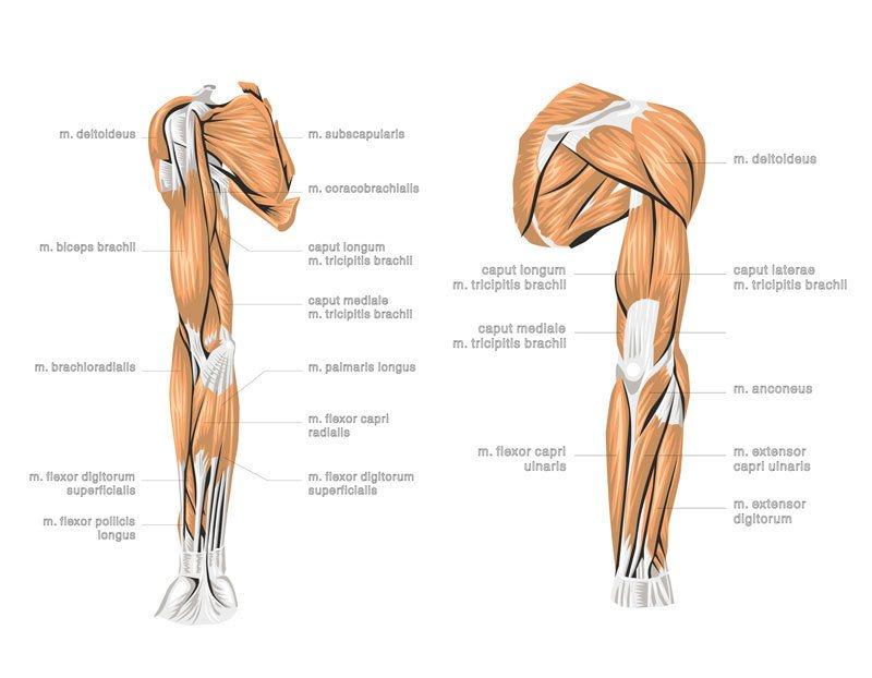 Yogahilft - Anatomie Schultergelenk